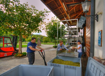 Sortierung der Rivaner Trauben - Sorting our Rivaner Grapes