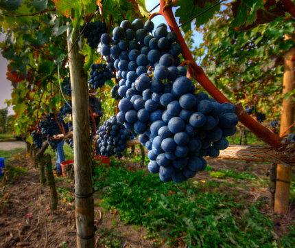 2007 Cabernet Sauvignon Trauben zur Ernte