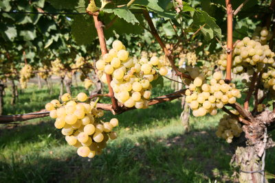 2007 ripe Chardonnay