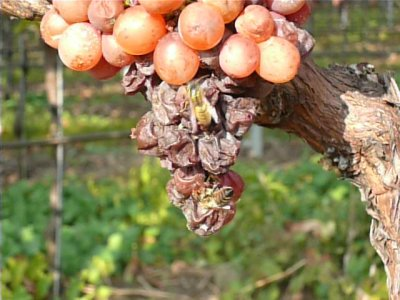 2007 Gewürztraminer Grapes with a wasp