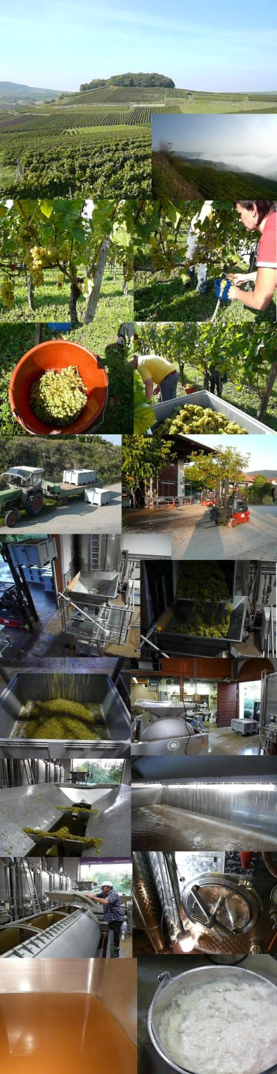 Pictures of our Pinot Blanc harvest und grape processing