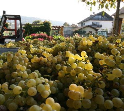 2007 ripe Rivaner Grapes - reife Rivaner Trauben