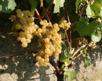 2007 Sauvignon Blanc grapes