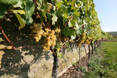 2007 ripe Sauvignon Blanc Grapes