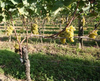 Gesunde Weisser Burgunder Trauben aus dem Jahrgang 2007 - Sain Pinot Blanc Grapes from the 2007 vintage