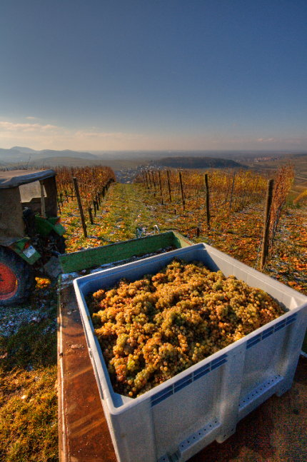 Bin with 2007 Riesling grapes