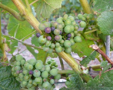 NZ Pinot Noir Veraison vom 28.1.08