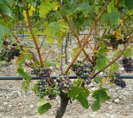 New Zealand Pinot Noir Veraison am 5.2.08