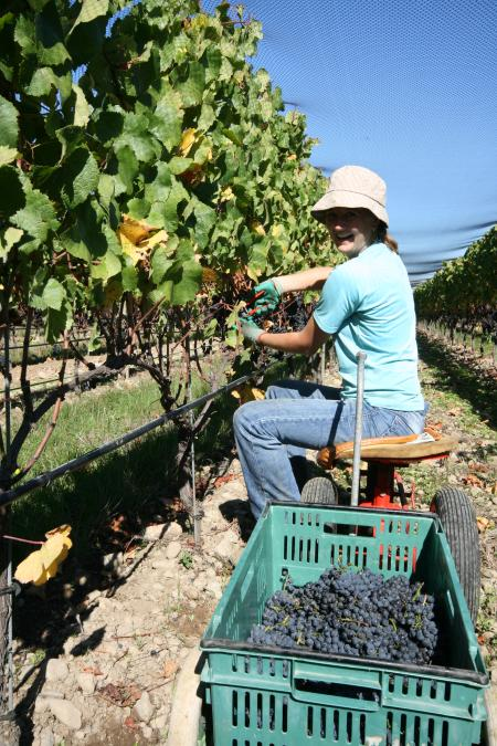 Picking Pinot Noir Grapes in New Zealand
