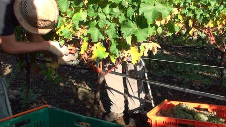 Bei der Ernte von Sauvignon Blanc Trauben in Neuseeland 2008