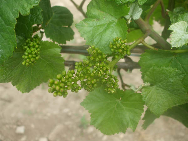 Picture of Pinot Noir starting with flowering