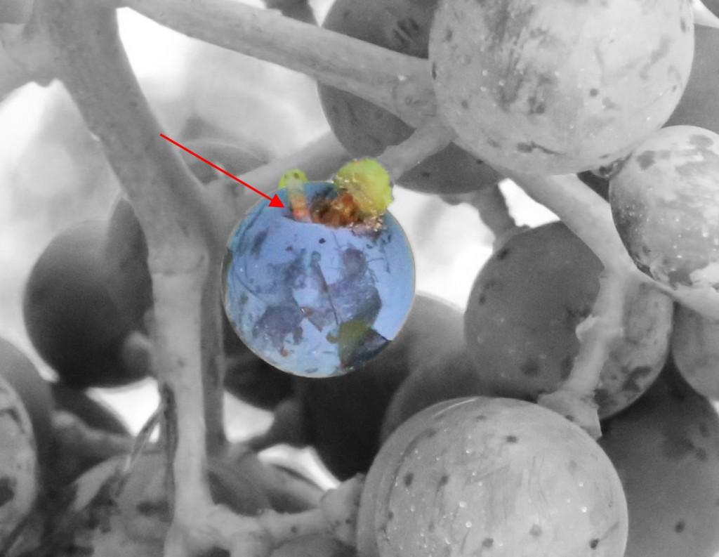 Fruchtessigfliege an Wunde