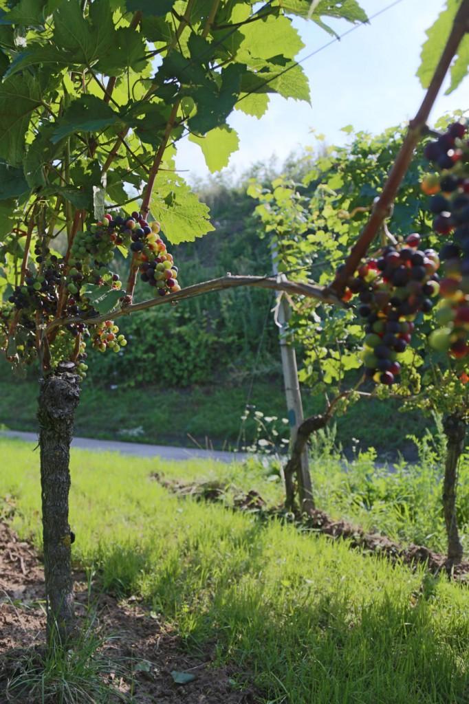 Rotweinanlage neben Böschung mit Brombeersträucher